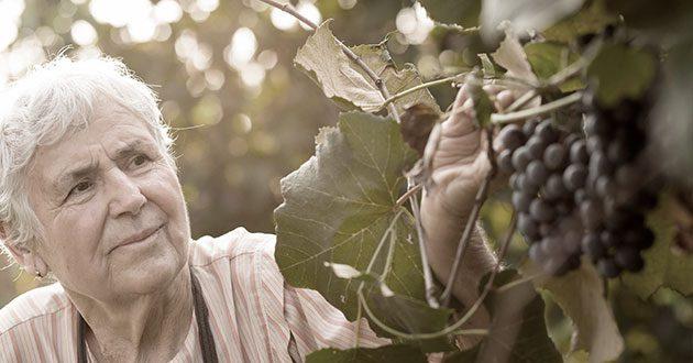 Uvas a dádiva do vinho.
